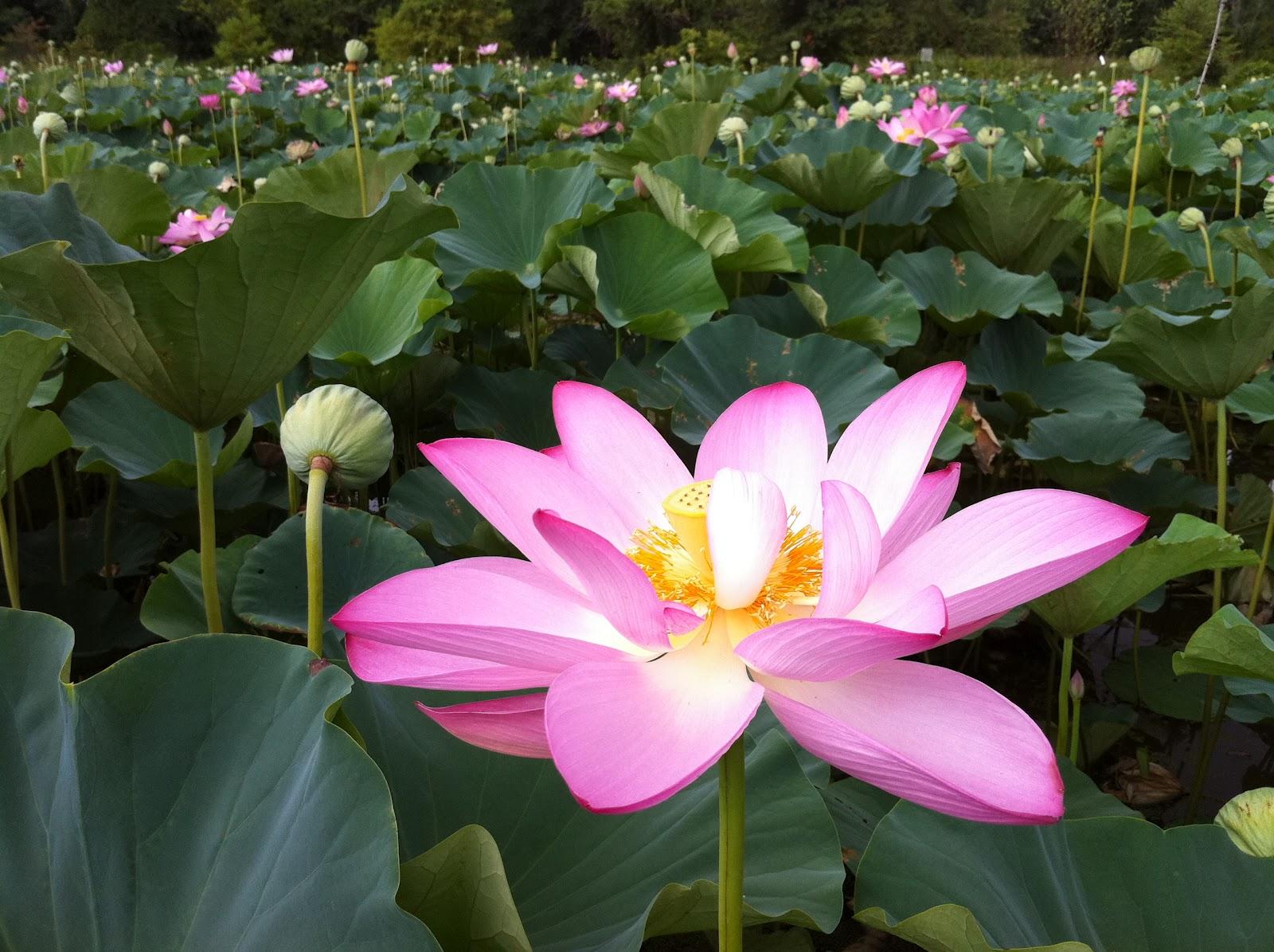 Hình ảnh những bông hoa sen thi nhau khoe sắc thắm