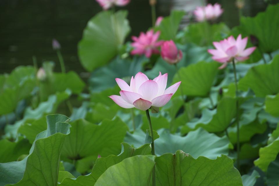 Hình ảnh về hoa sen