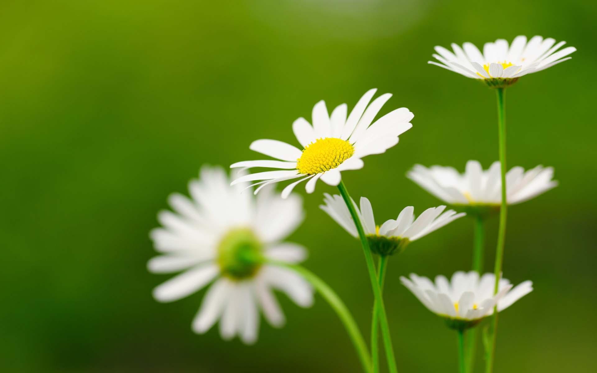 Hình nền hoa cúc đẹp