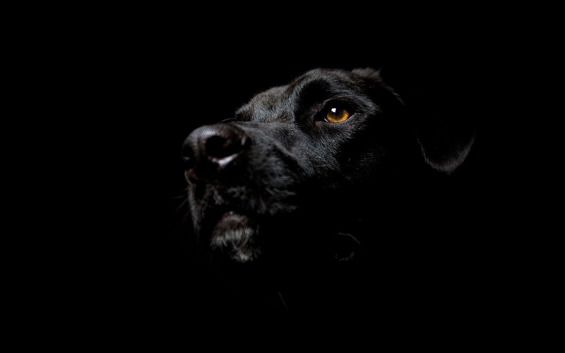 Ảnh nền chú chó đen đẹp