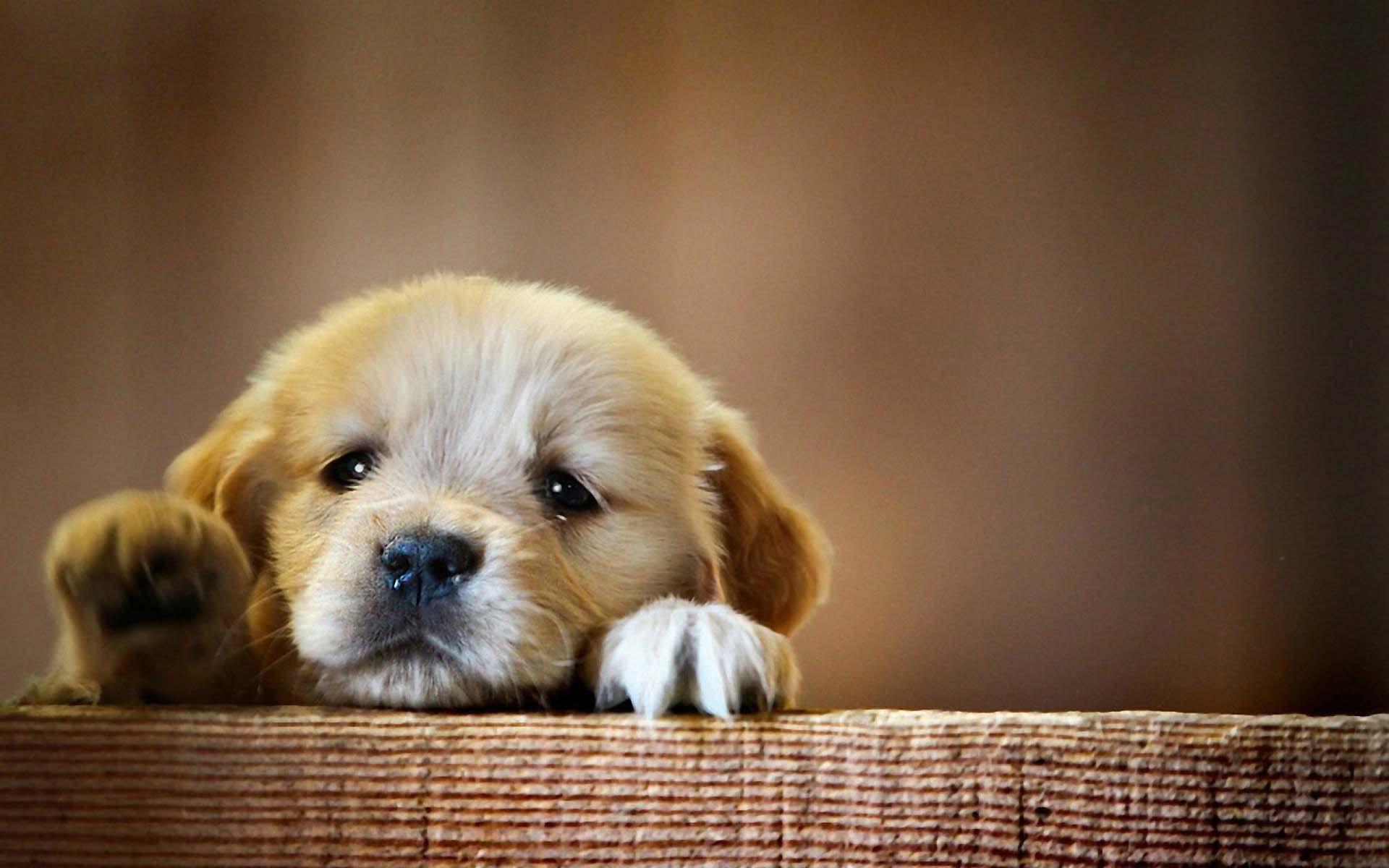 Ảnh nền cún cute, dễ thương nhất