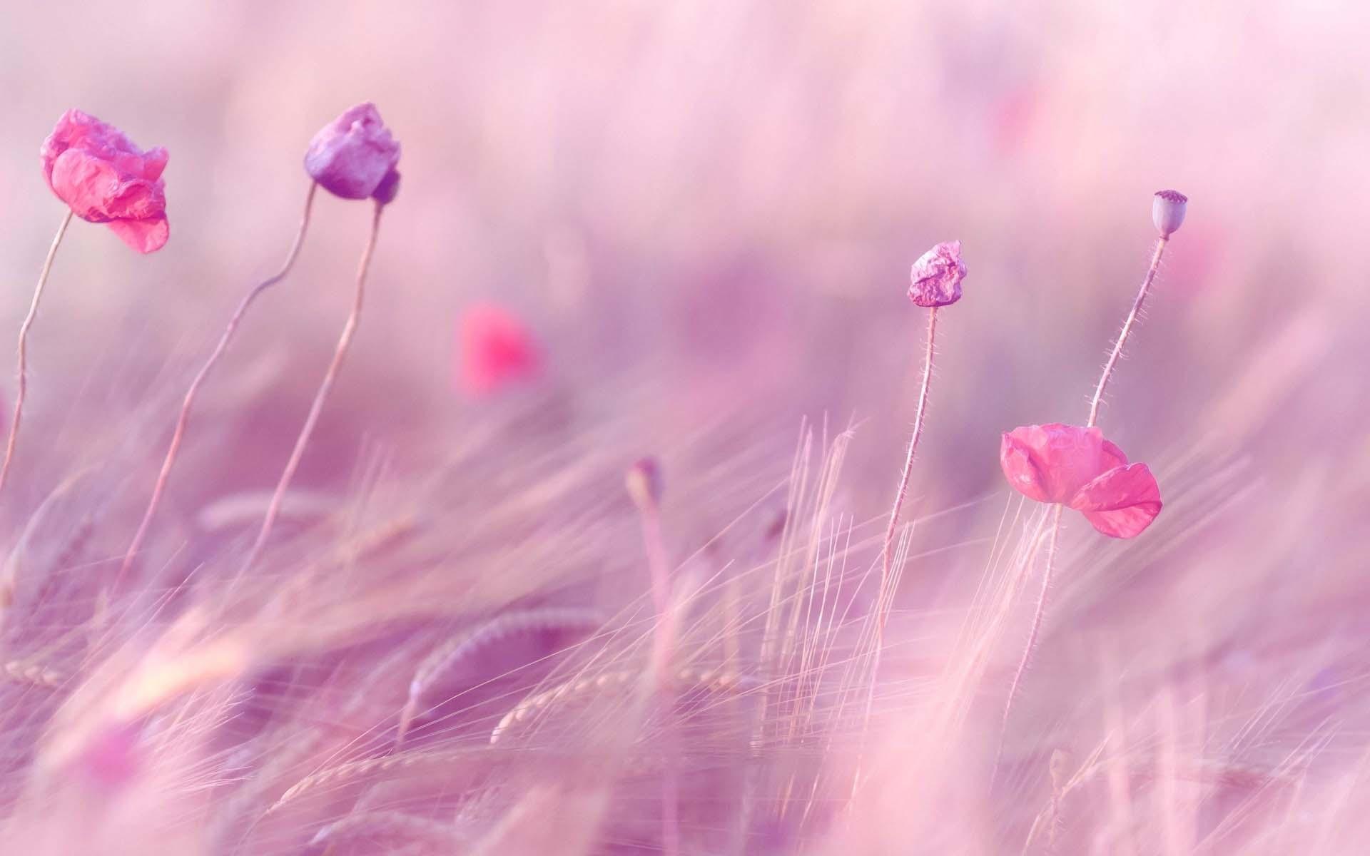 Hình ảnh nền màu hồng