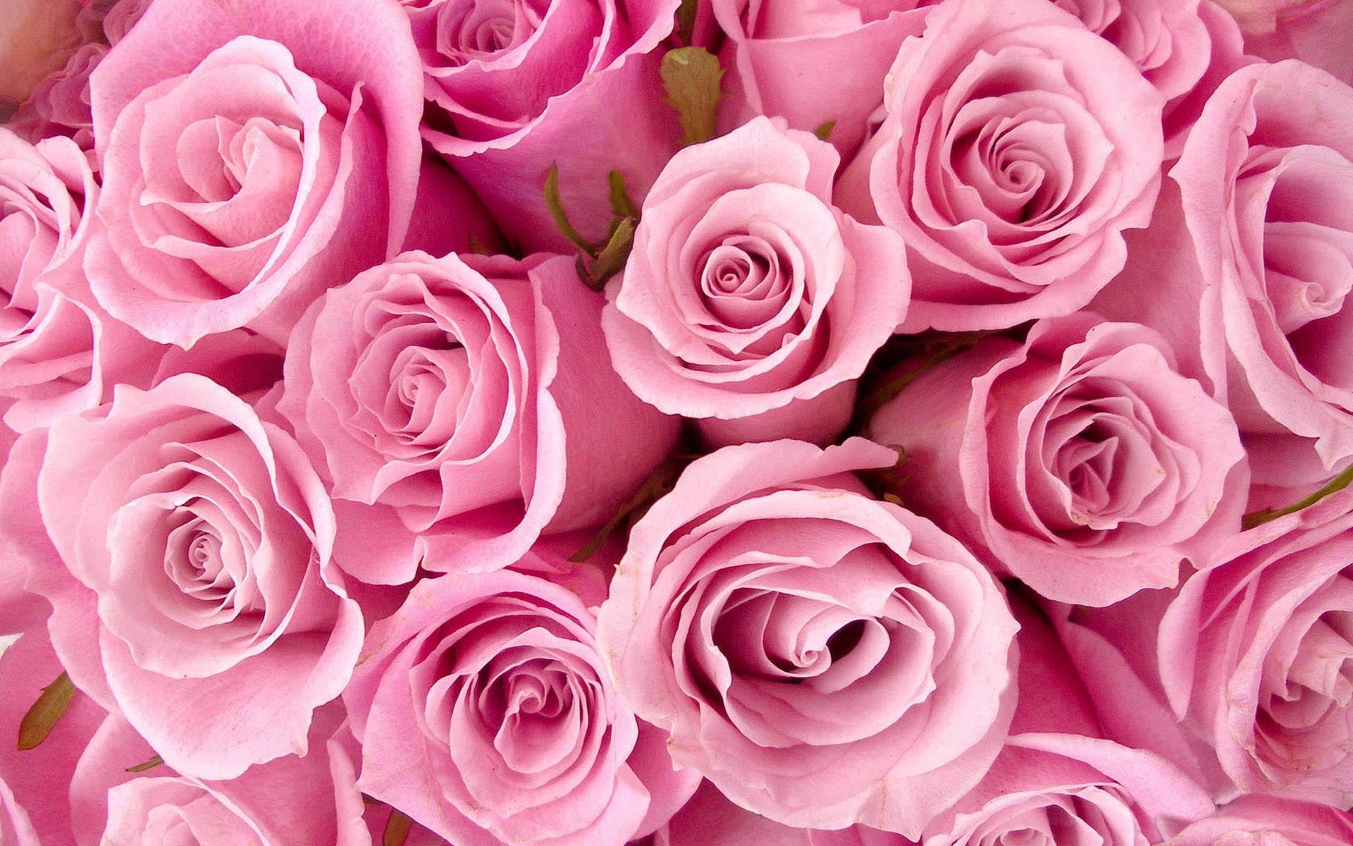 Hình nền hoa hồng màu hồng