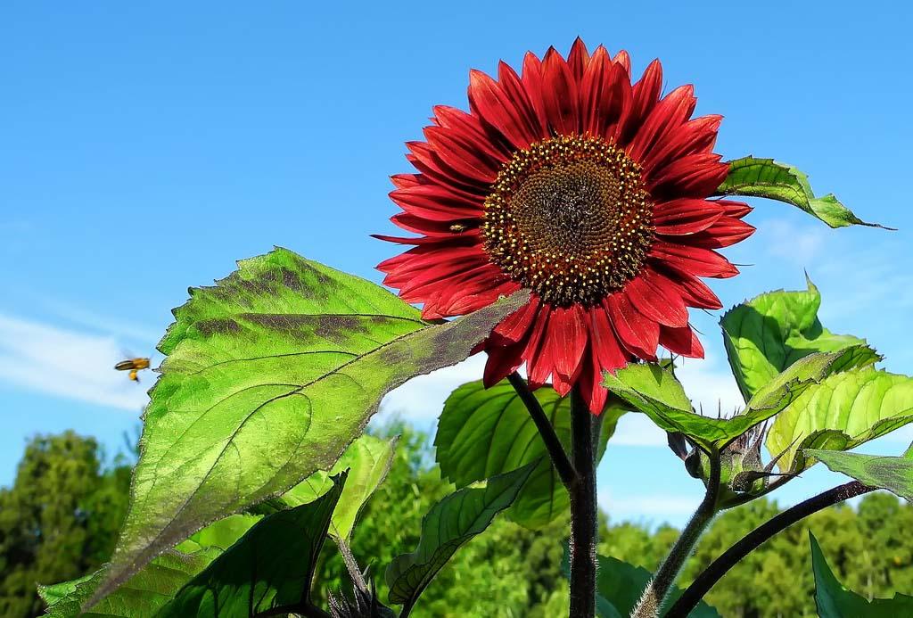 Ảnh cực đẹp về hoa hướng dương