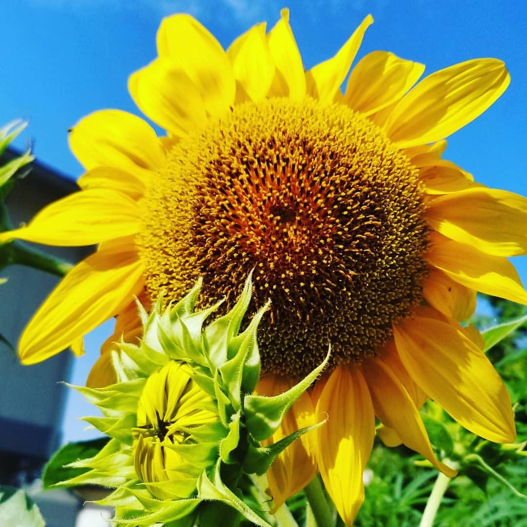 Ảnh đẹp hoa hướng dương rực rỡ