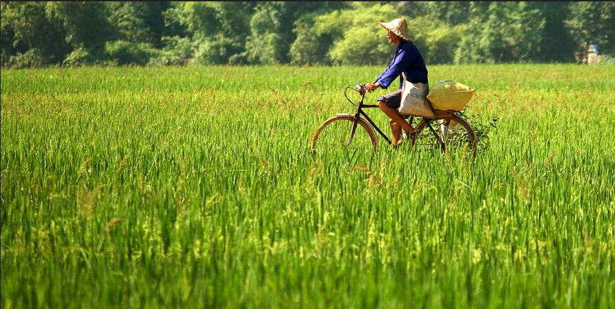 Ảnh đẹp làng quê trên cánh đồng lúa Việt Nam