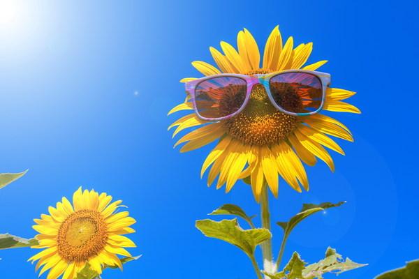 Ảnh đẹp những bông hoa hướng dương