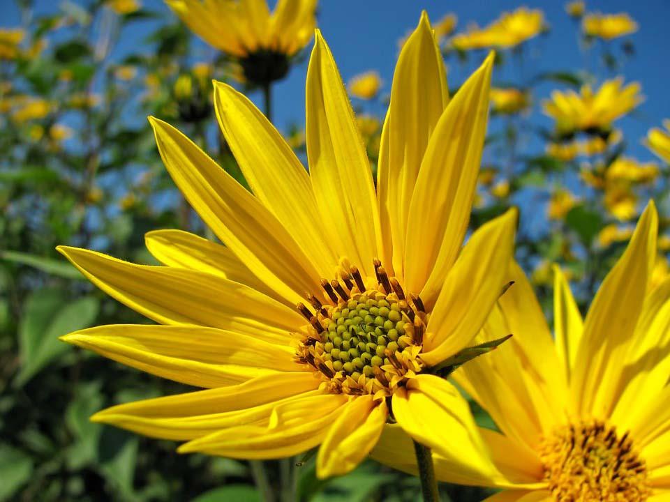 Ảnh đẹp về hoa hướng dương