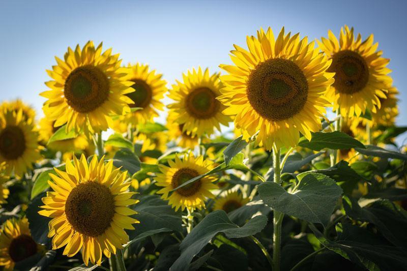 Ảnh hoa hướng dương đẹp dưới nắng sớm