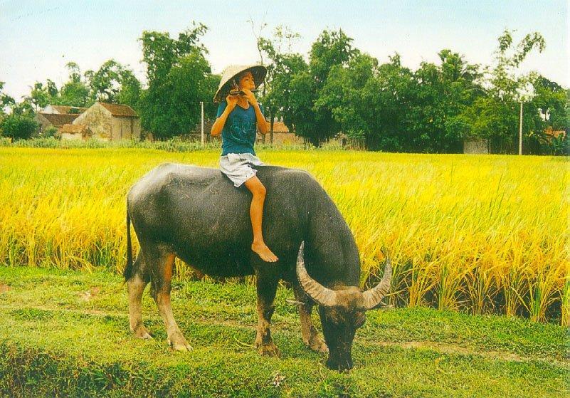 Hình ảnh con trâu làng quê Việt Nam