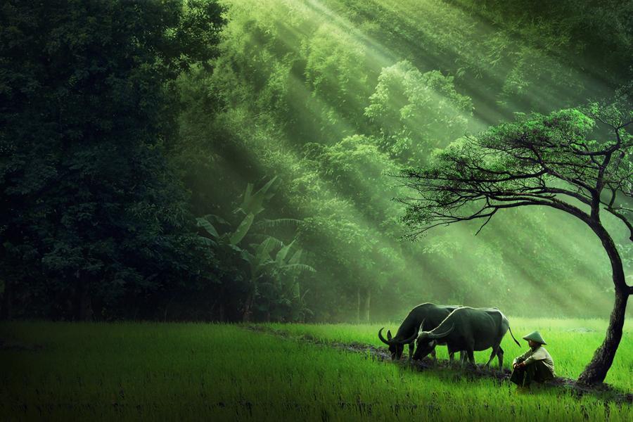 Hình ảnh đẹp con trâu làng quê Việt Nam