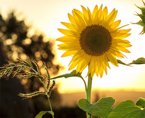 Hình ảnh đẹp hoa hướng dương dưới nắng chiều