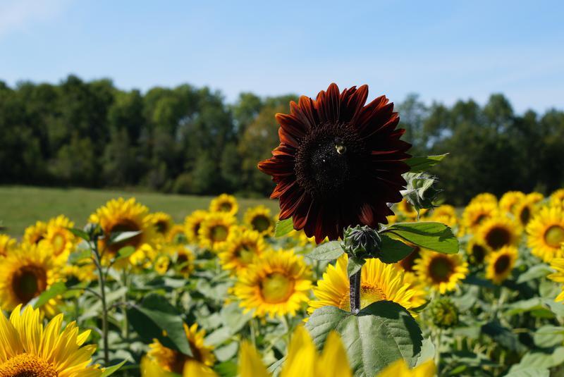 Hình ảnh đẹp hoa hướng dương dưới nắng