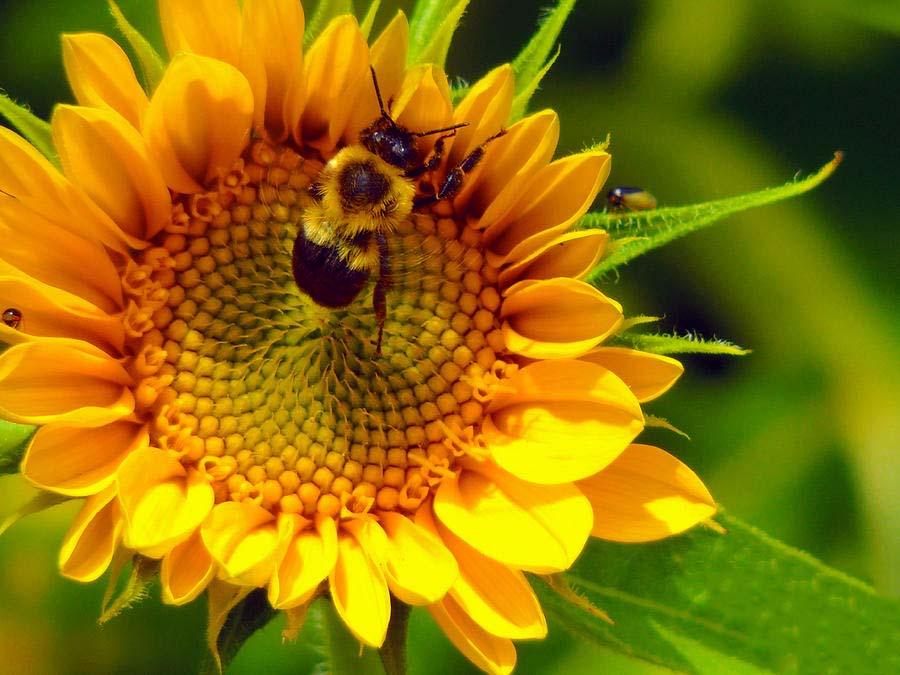 Hình ảnh đẹp hoa hướng dương và ong