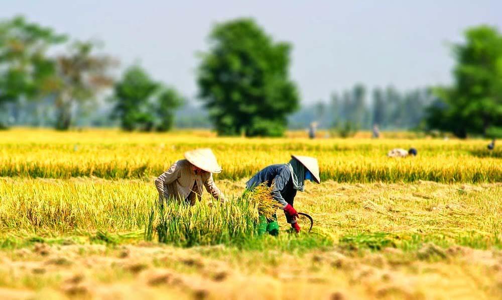 Hình ảnh đẹp làng quê Việt vào mùa gặt