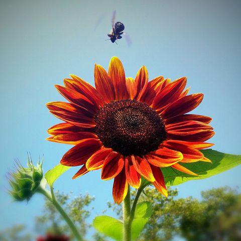 Hình ảnh đẹp nhất về hoa hướng dương