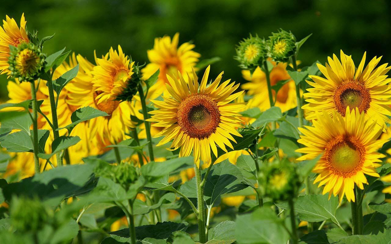 Hình ảnh đẹp về những bông hoa hướng dương