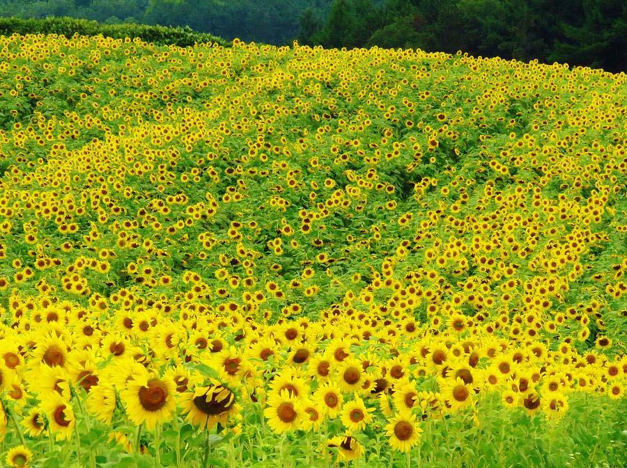 Hình ảnh đồi hoa hướng dương đẹp nhất