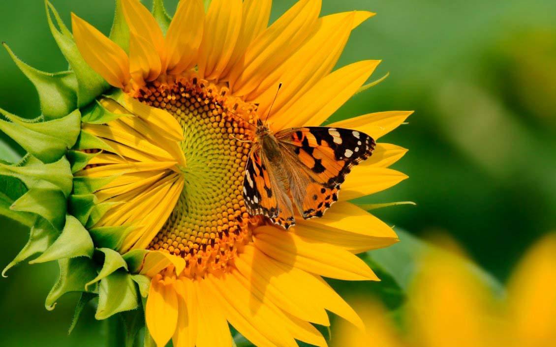 Hình ảnh hoa hướng dương cực đẹp