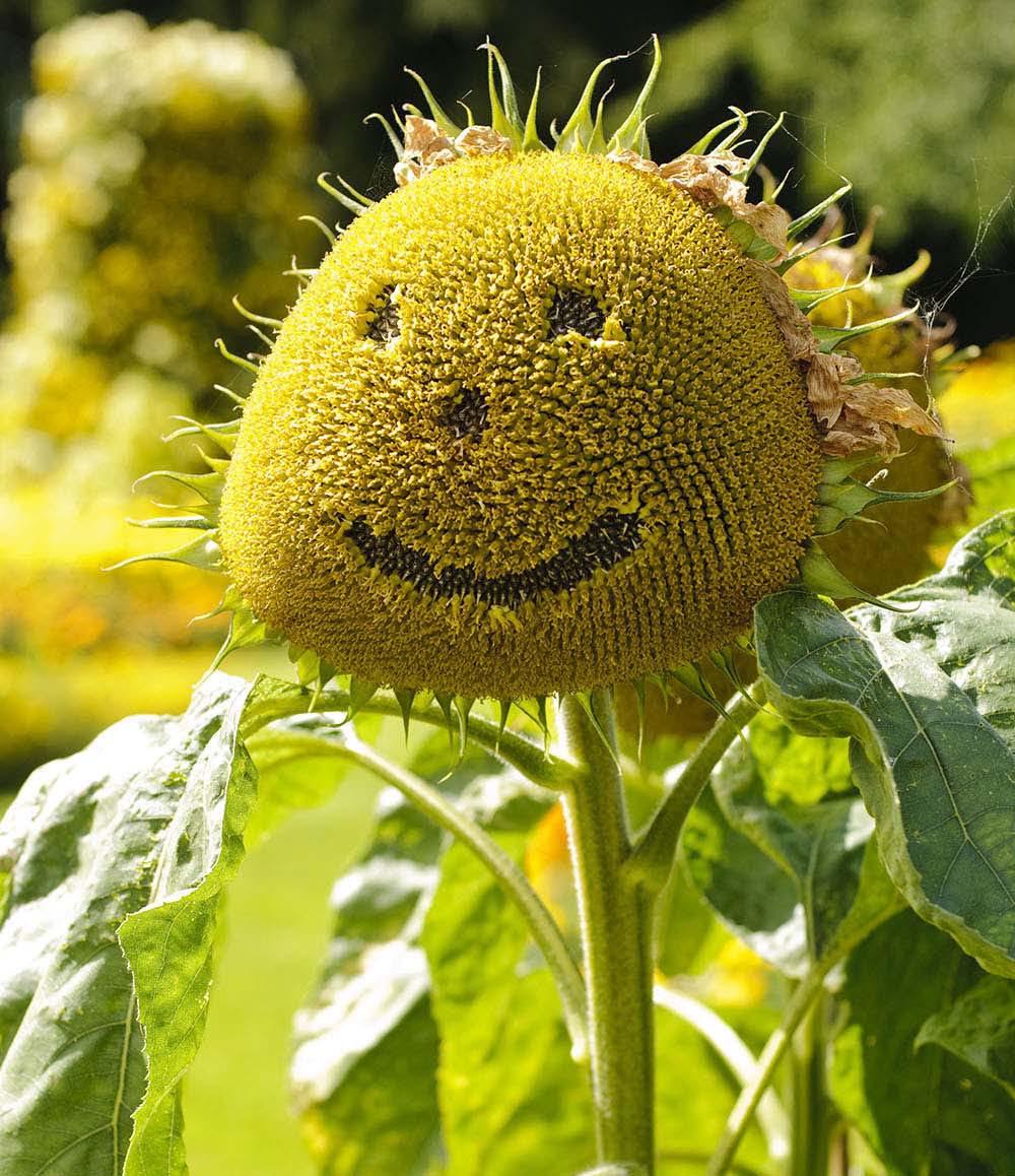 Hình ảnh hoa hướng dương cười