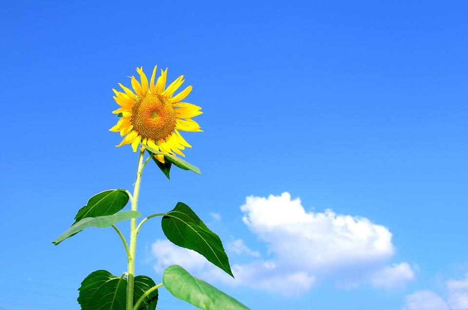 Hình ảnh hoa hướng dương đẹp dưới nắng