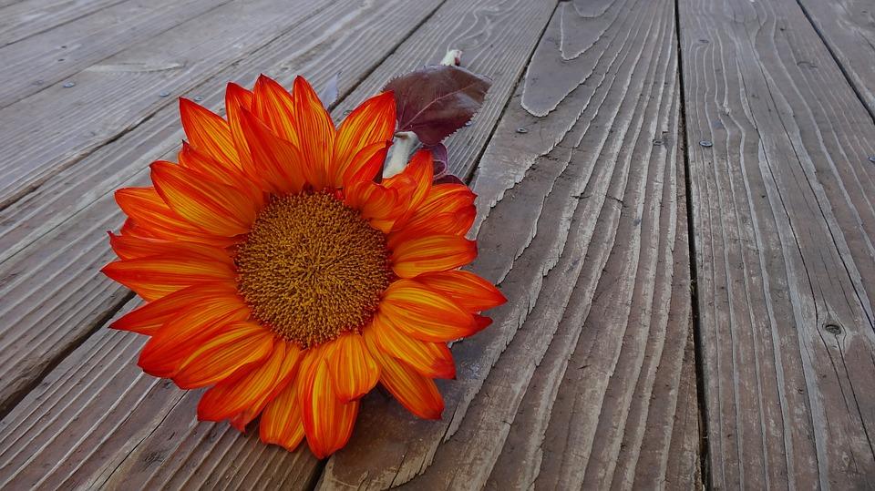 Hình ảnh hoa hướng dương đỏ đẹp