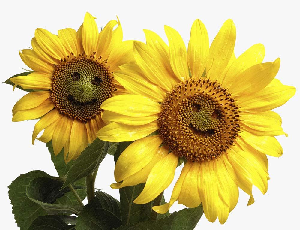 Hình ảnh hoa hướng dương độc đáo