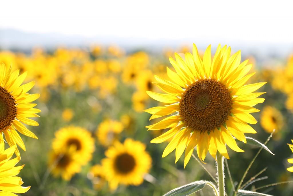 Hình ảnh hoa hướng dương dưới nắng đẹp