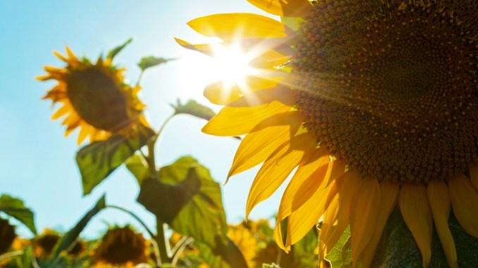 Hình ảnh hoa hướng dương dưới nắng