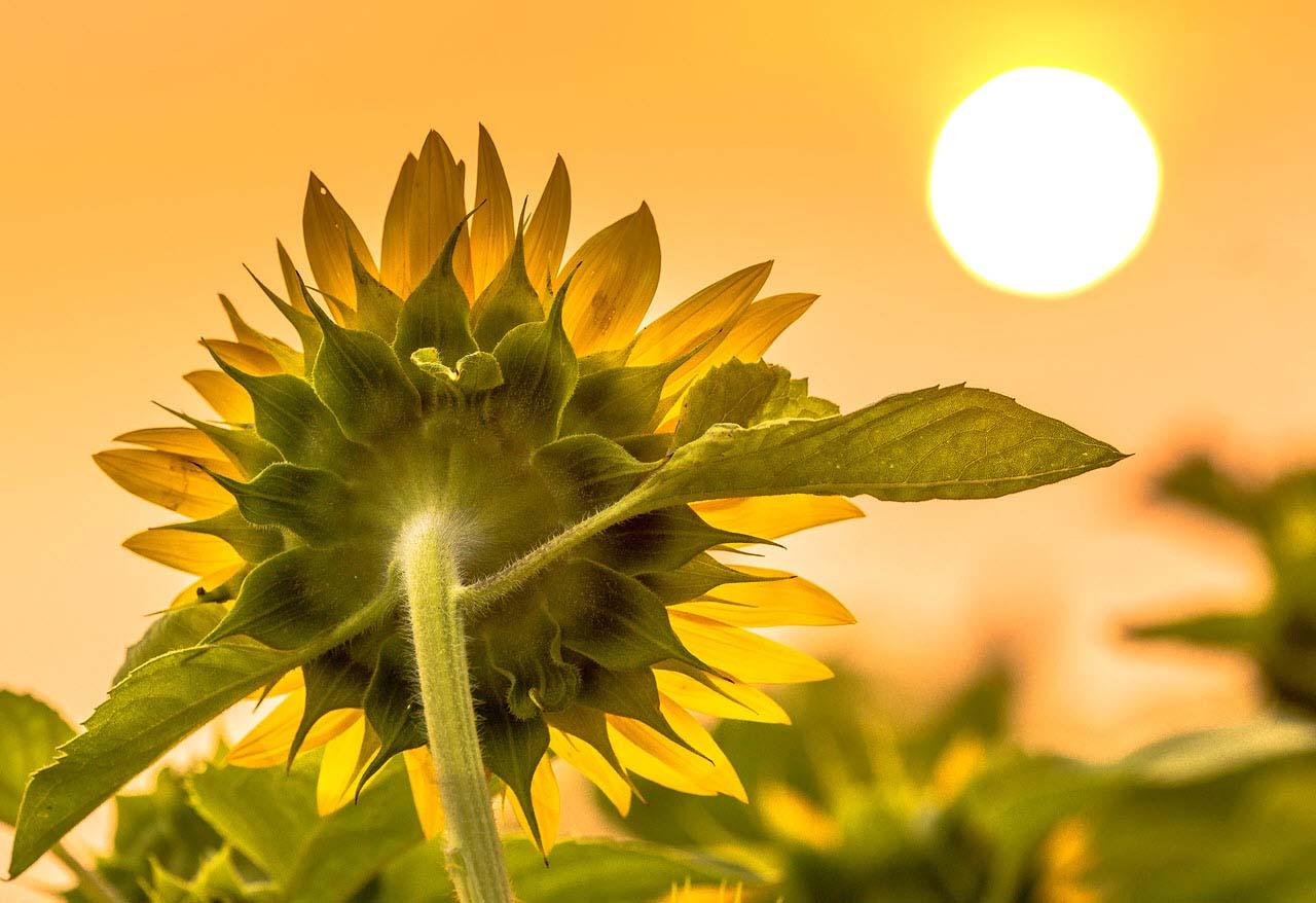 Hình ảnh hoa hướng dương hướng về mặt trời