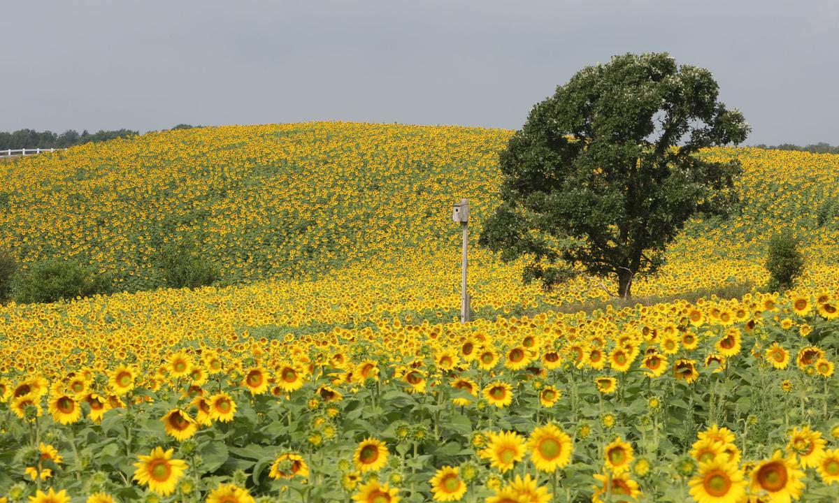 Hình ảnh hoa hướng dương Nghệ An