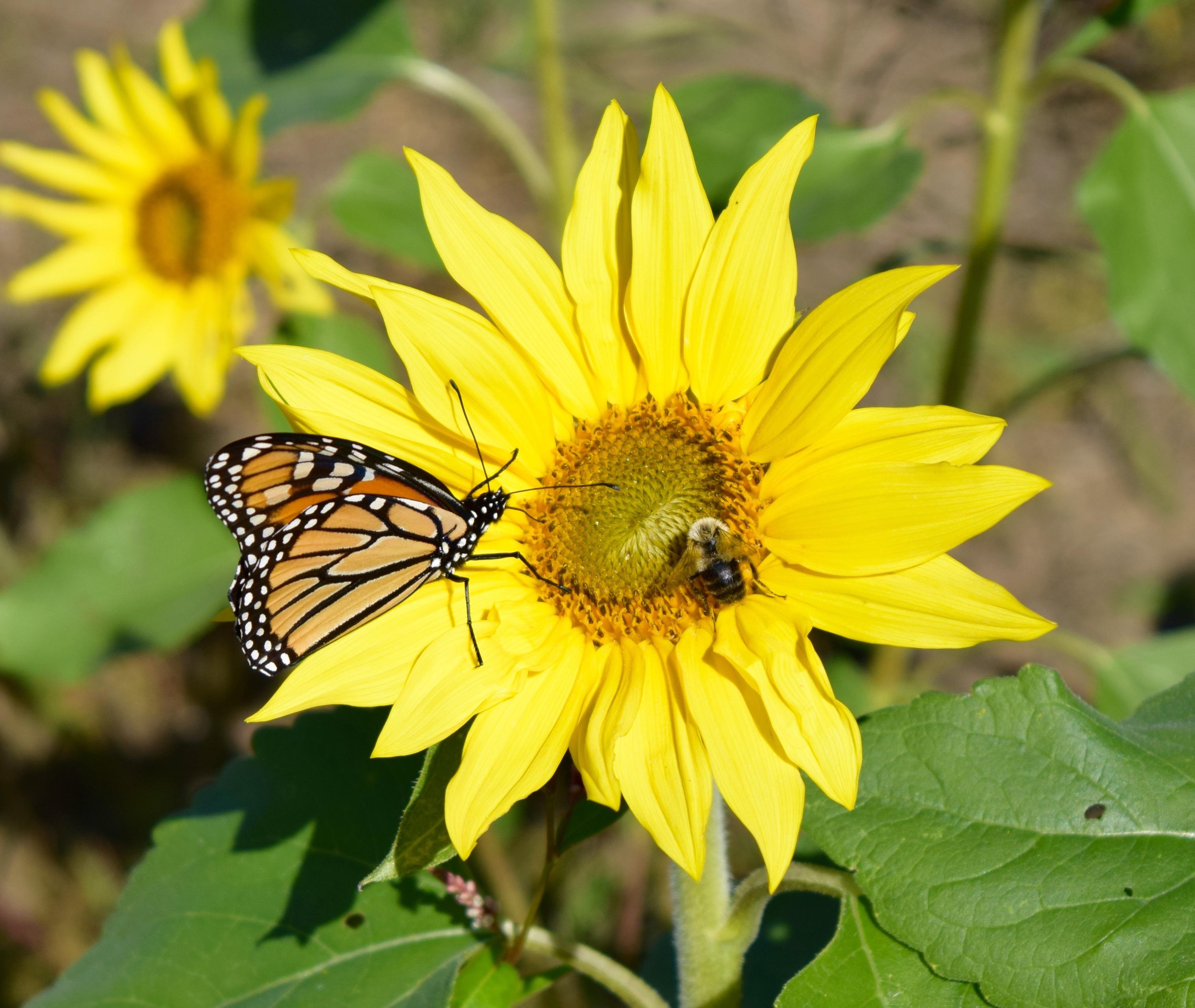 Hình ảnh hoa hướng dương tự nhiên