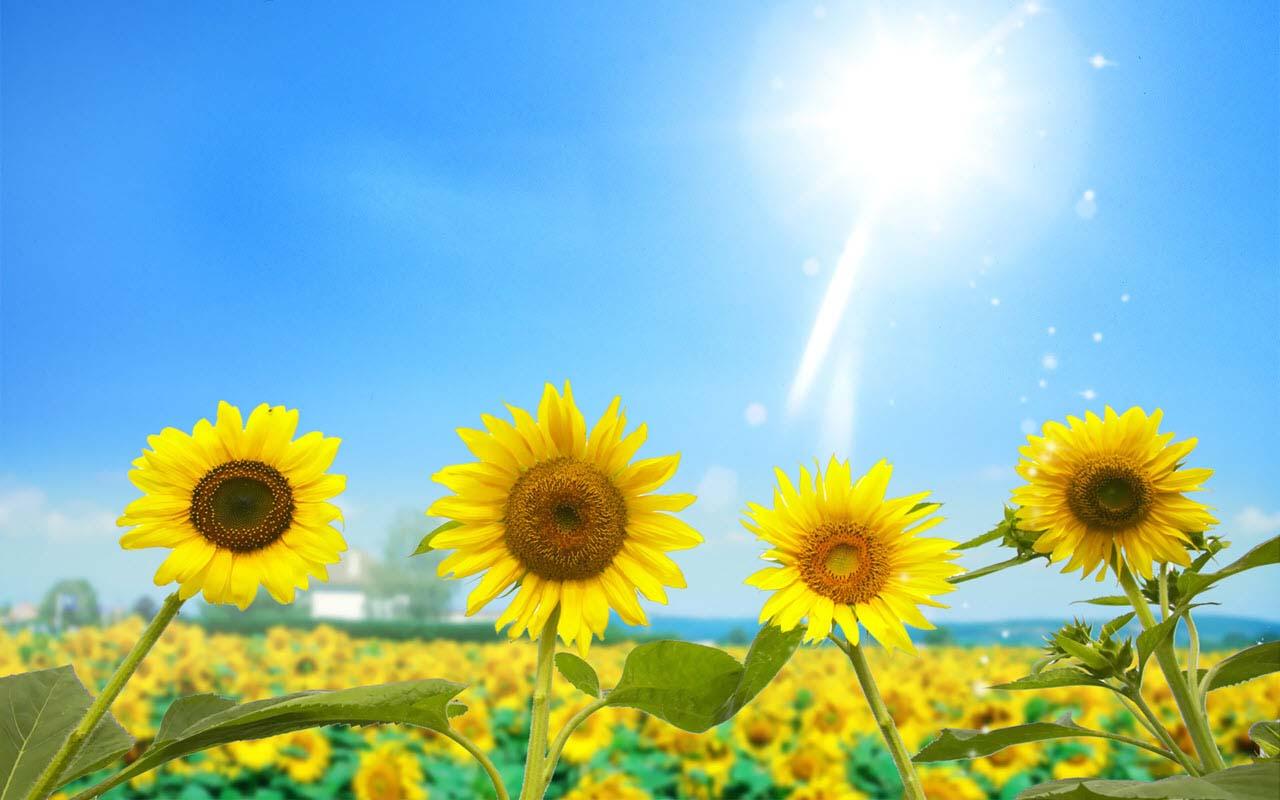 Hình ảnh hoa hướng dương và mặt trời