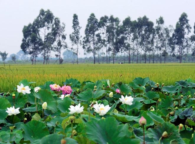 Hình ảnh hoa sen làng quê đẹp