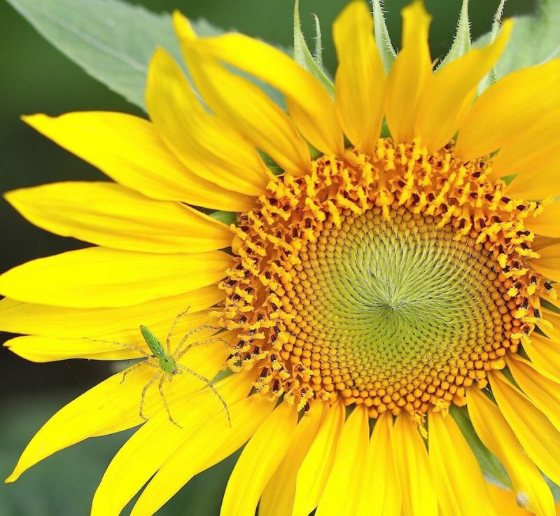 Hình ảnh loài hoa hướng dương đẹp nhất