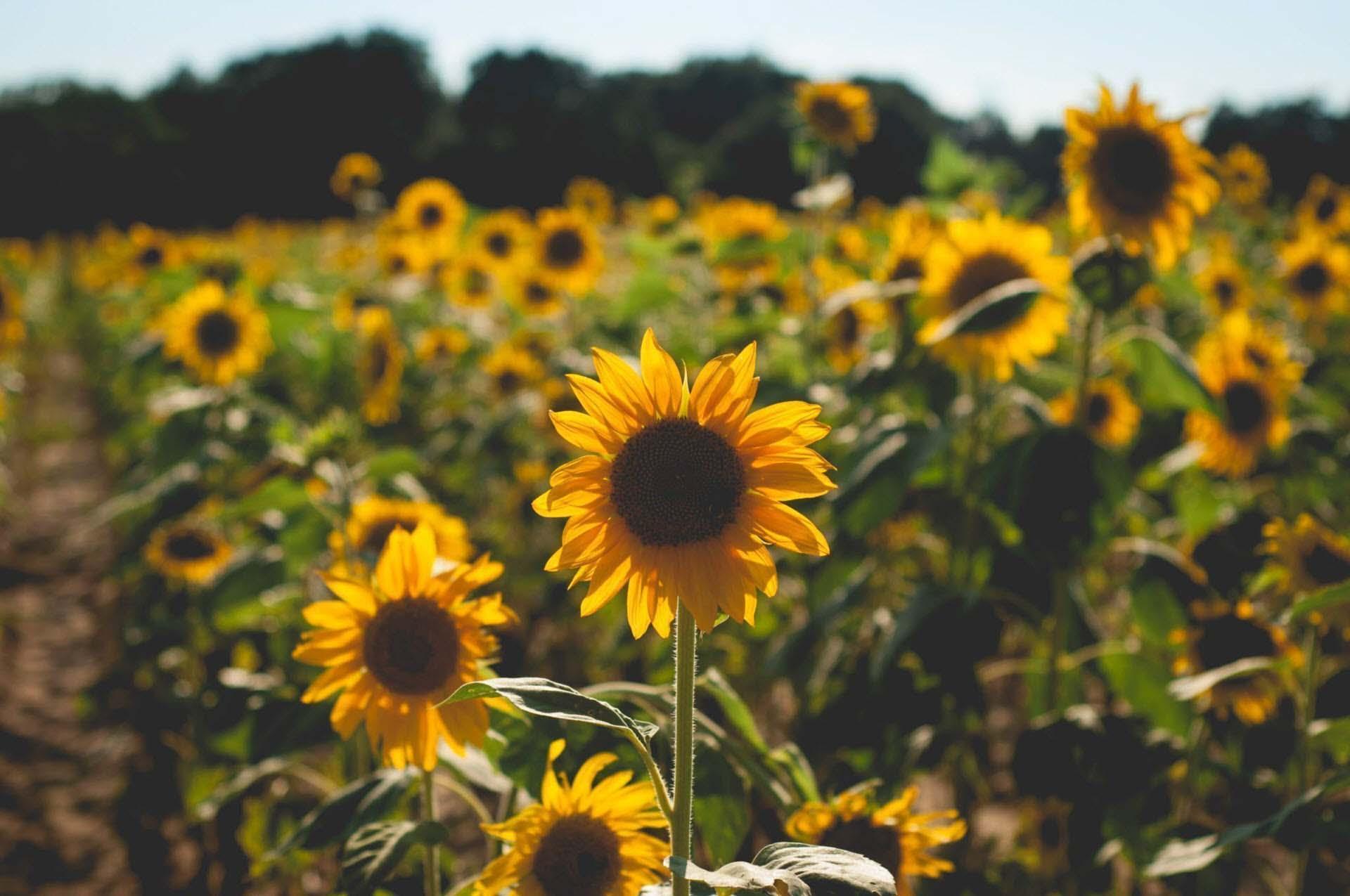 Hình ảnh những bông hoa hướng dương đẹp