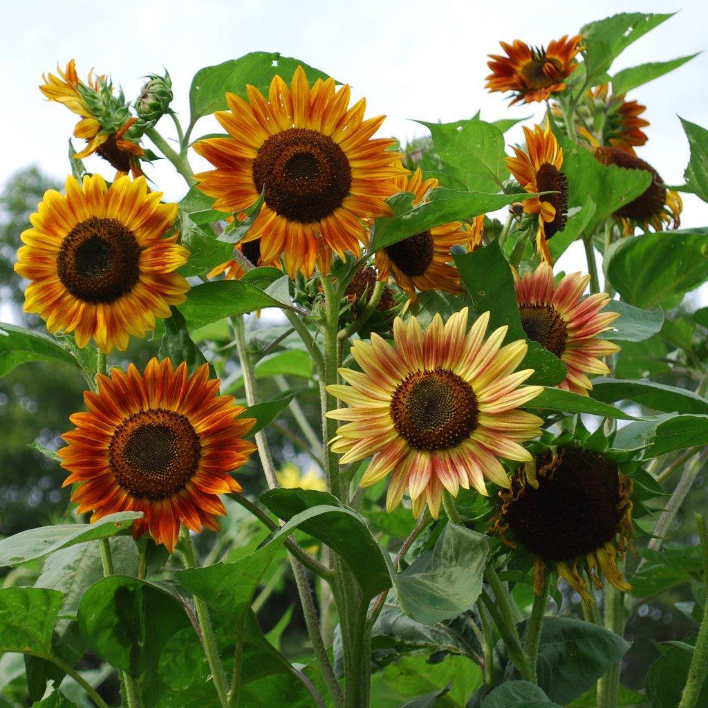 Hình ảnh những bông hoa hướng dương