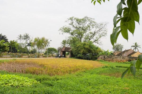 Hình ảnh ruộng làng quê Việt