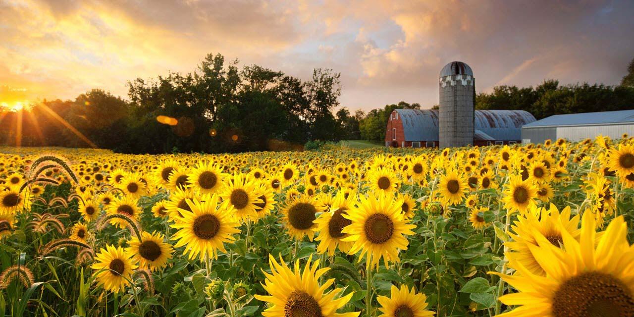Hình ảnh trang trại hoa hướng dương
