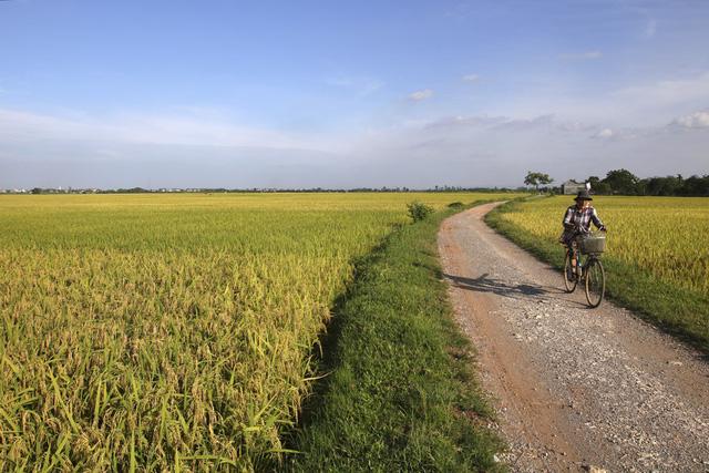 Ảnh cánh đồng lúa chín vàng đẹp