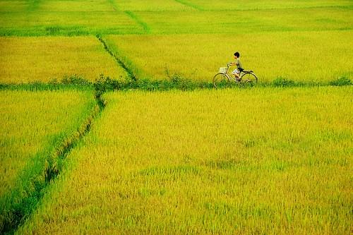 Ảnh cánh đồng lúa quê đẹp nhất