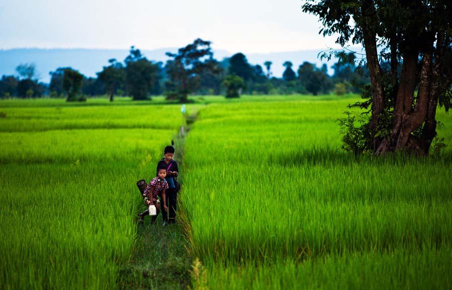 Ảnh cánh đồng lúa xanh