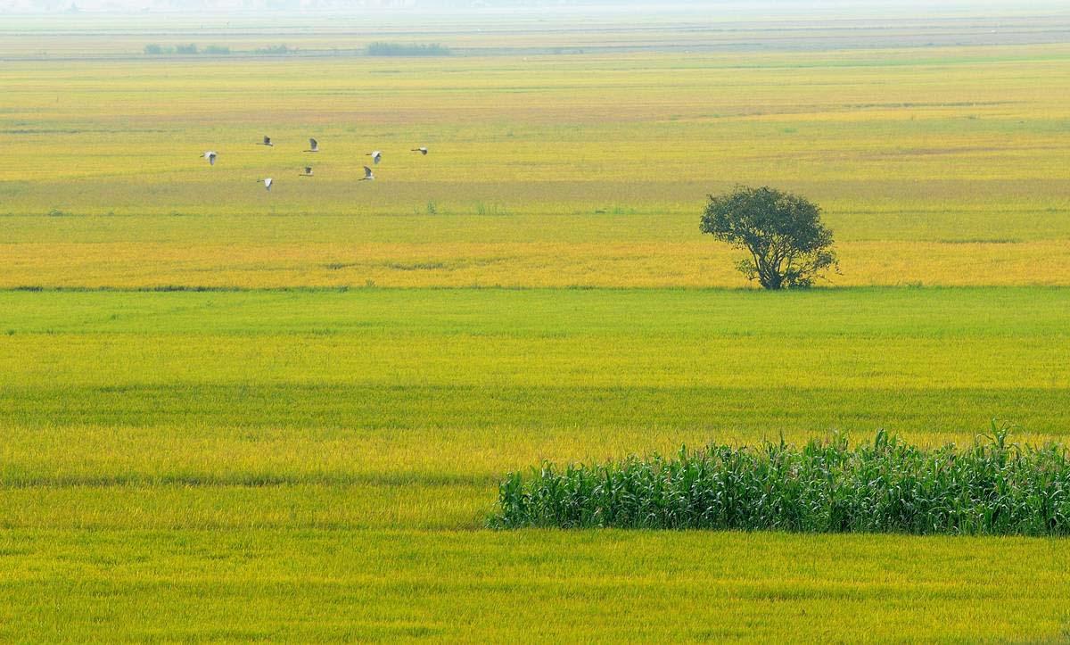 Ảnh đẹp cánh đồng lúa bát ngát