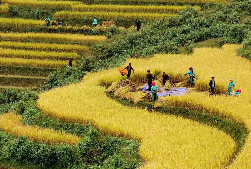 Ảnh đẹp cánh đồng lúa đang thu hoạch