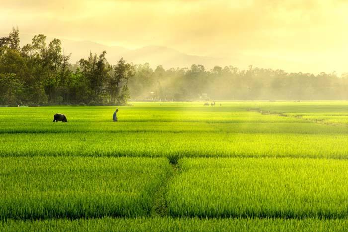 Ảnh đẹp cánh đồng lúa đẹp