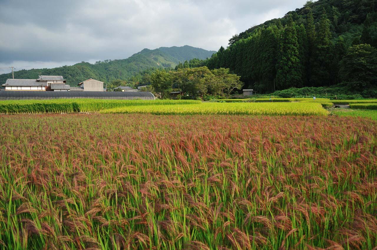 Ảnh đẹp cánh đồng lúa đỏ