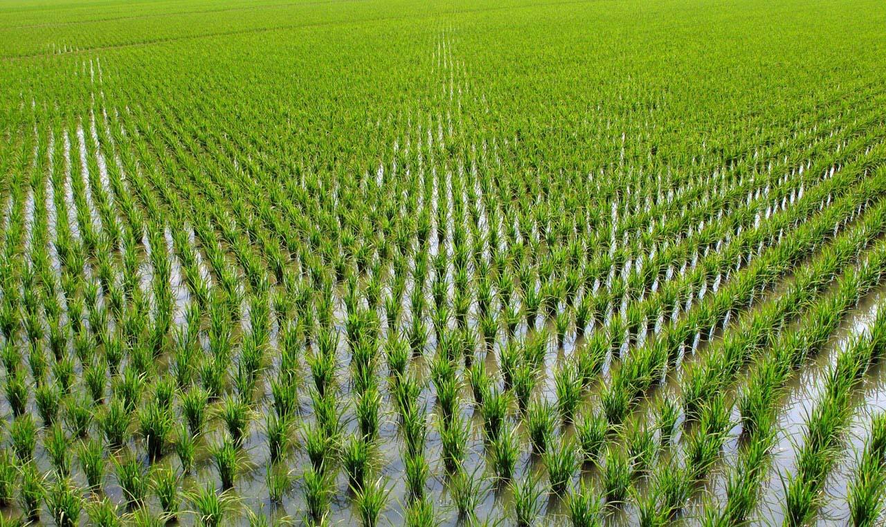 Ảnh đẹp cánh đồng lúa mới lớn