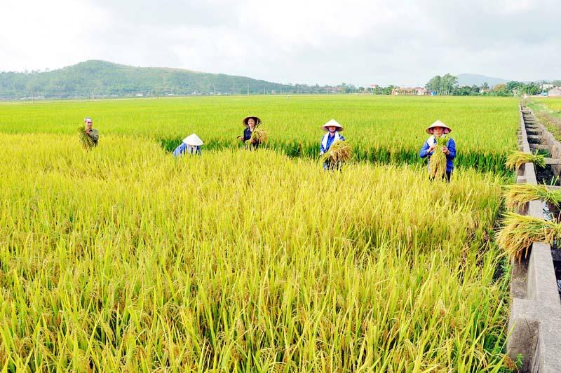 Ảnh đẹp cánh đồng lúa mùa gặt