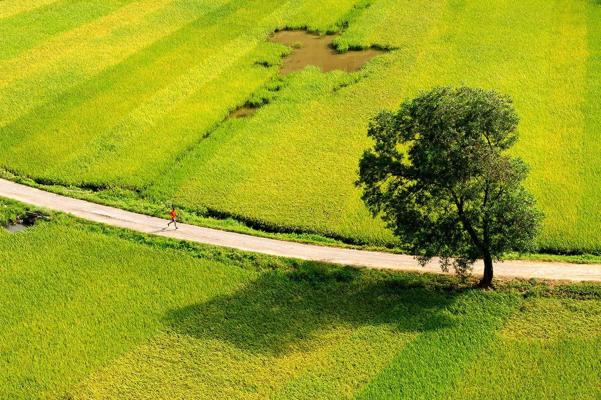 Ảnh đẹp về cánh đồng lúa đang chín