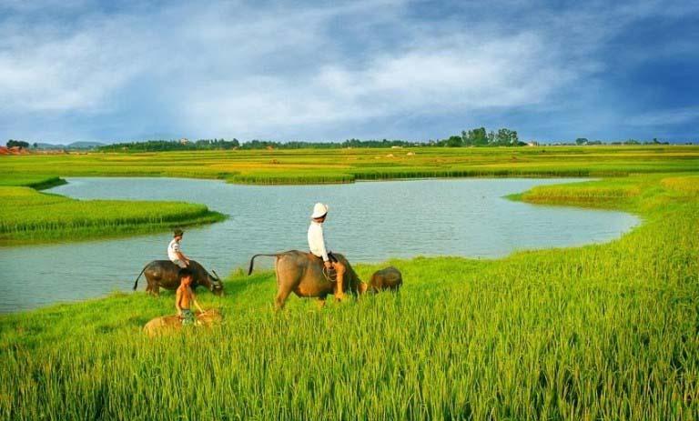 Ảnh đẹp về cánh đồng lúa